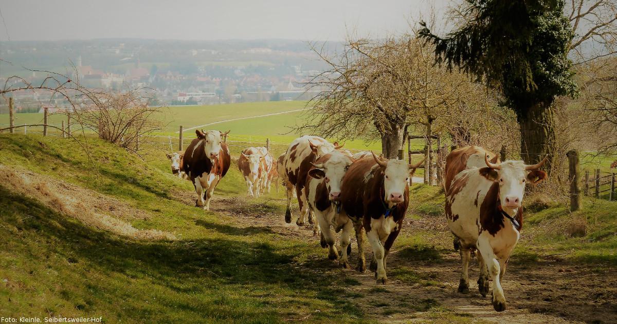 Foto Kühe (Seibertsweiler-Hof)